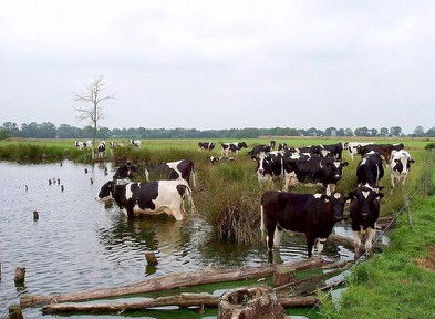 Gieten, pool with cows